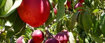 פירות ויינות חמישה עשר